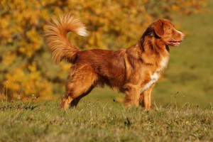 Nova Scotia Duck Tolling Retriever PIKKINOKKA'S AT CANIS AMICUS (PIKI)