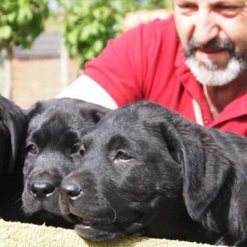 labrador retriever canis amicus
